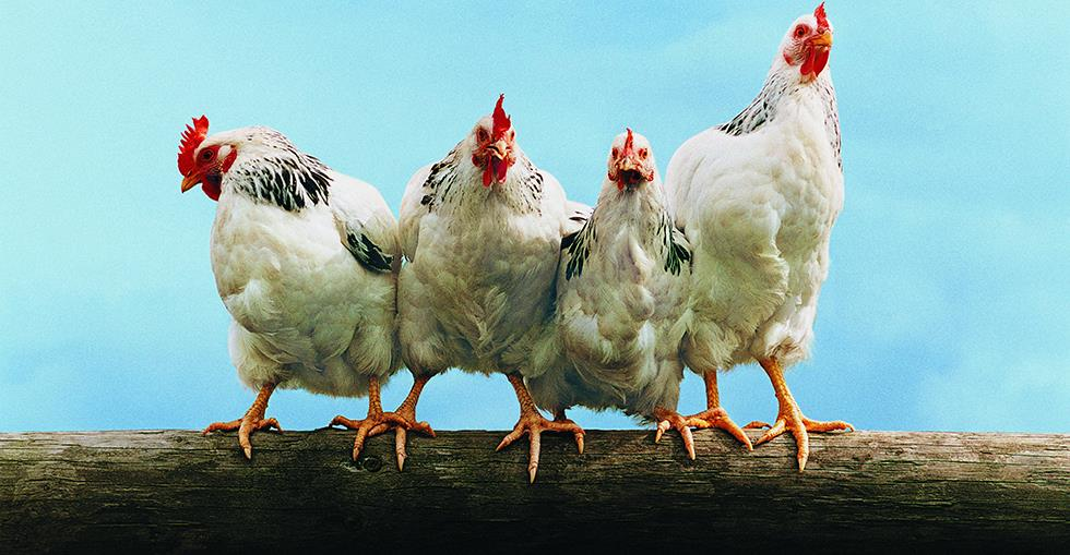 Should South African farms ban battery hen farming?
