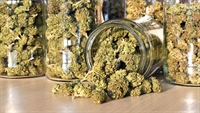 cannabis cultivation medical licenses - 1