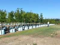 commercial tree cultivation business - 2
