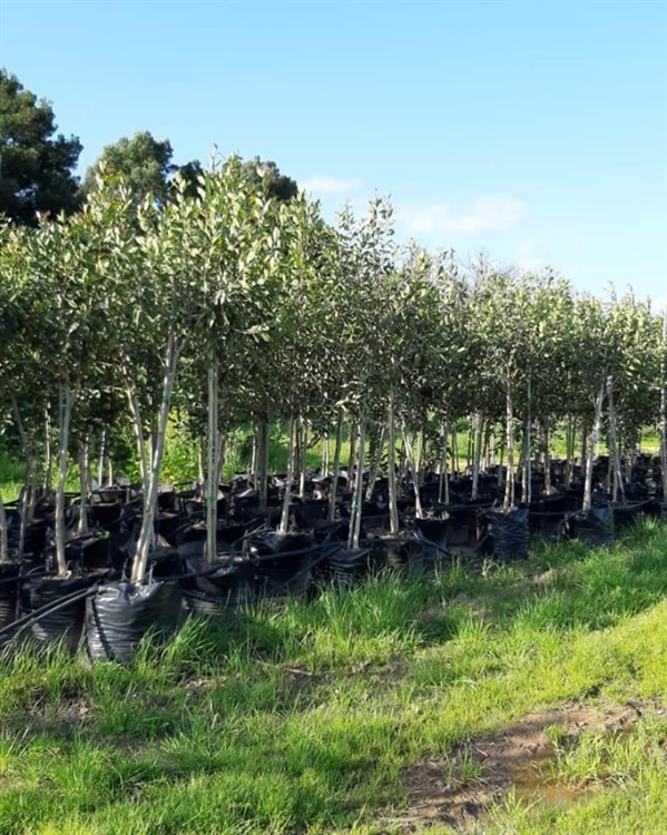 commercial tree cultivation business - 4